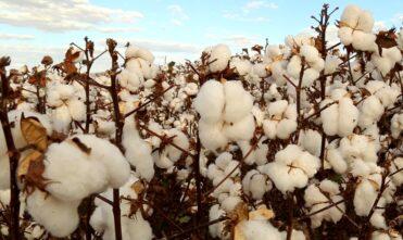 Preços do algodão estão mais firmes