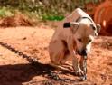 Projeto de Lei proíbe acorrentamento de animais domésticos