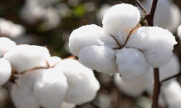 Vendedores estão apostando nas exportações de algodão