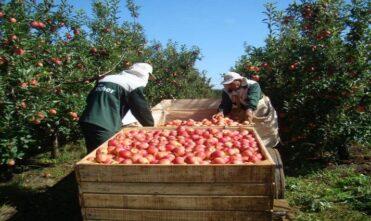 Indígenas de MS começam ser contratados para colheita da maçã no sul do País