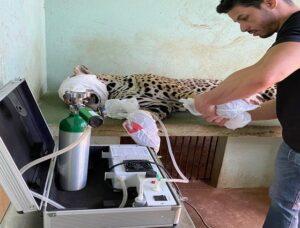 Ozonioterapia ajuda na recuperação de onça ferida em incêndio no Pantanal