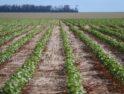 Mapeamento da qualidade do algodão ajuda produtores
