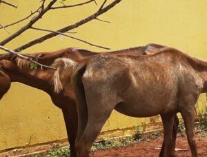Morador de Cassilândia é autuado após cavalos serem encontrados machucados e sem alimento